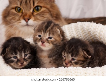 Cute newborn siberian kittens with their mother on the background