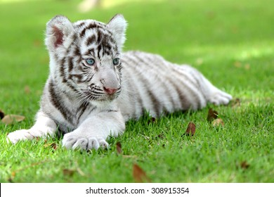 white tiger images stock photos vectors shutterstock