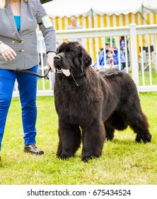 Cute Newfoundland dog slobbering as he is  being judged