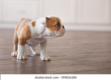 Cute nice spoony little puppy of english bull dog walking scary in empty flat on dalle tile close to stylish brick wall.Red white colour puppy french american bully.