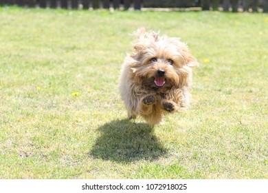 Cute Norfolk Terrier