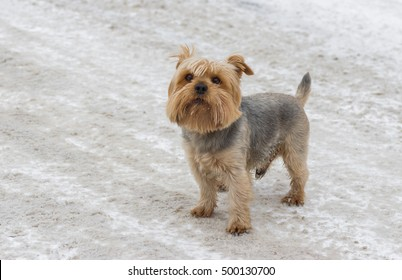 Cute Norfolk terrier standing on a snow-covered street