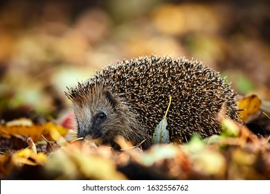 Cute Northern white-breasted hedgehog (Erinaceus roumanicus) in fallen leaves. Beautiful autumn light makes the atmosphere. Animal in natural habitat.