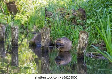 Cute nutria sitting at a river