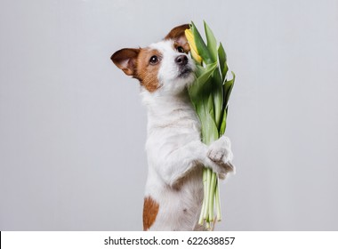 Cute and obedient breed dog jack russell terrier keeps flowers in the clutches on a light background
