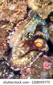 A cute Octopus rests motionless in crevice as it changes colors to blend in with its background