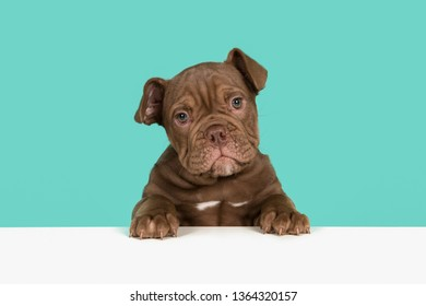 Cute old english bulldog puppy holding a white board looking at camera on a blue background