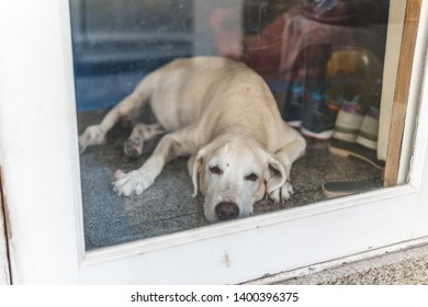 Cute old Labrador dog wait owner to come back home at the door.
