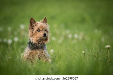 Cute Old Yorkshire Terrier Sitting In Green Grass With Dry Dandelions