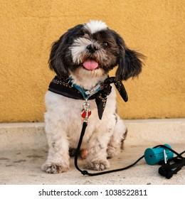 Cute one eyed shih tzu dog portrait.