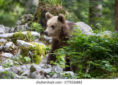 Cute one year old bear roaming the forest