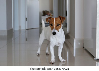 Cute one year old Jack Russel terrier puppy with folded ears standing in hallway. Small adorable doggy with funny fur stains. Close up, copy space, tile flooring, white doors and wall background.