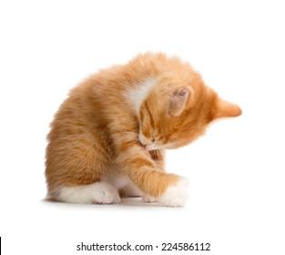 Cute Orange Kitten Bathing Isolated on White Background