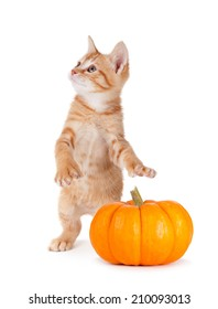 Cute orange kitten caught stealing a mini pumpkin isolated on a white background.