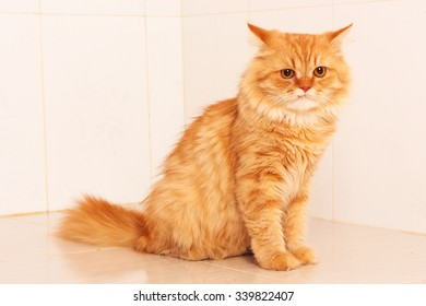 cute orange persian cat