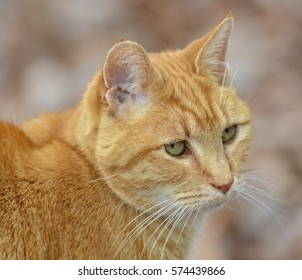 Cute Orange Tabby Cat Expression