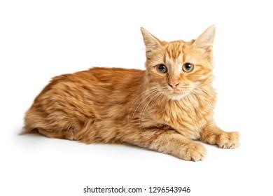 Cute orange tabby cat lying down on white looking forward