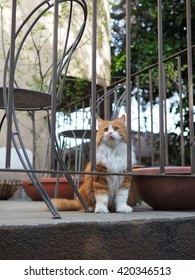 Cute Orange White Long Hair Bi-Color Traditional Doll Face Persian Cat with Orange Eyes Sitting Behind Gate