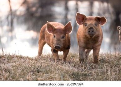Cute orange young mangalitsa (furry) pigs on the pasture looking at the camera. Selective focus, warmer tones.