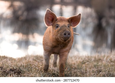 Cute orange young mangalitsa (furry) pig on the pasture looking away camera. Selective focus, warmer tones. One animal only
