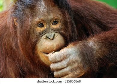 Cute Orangutan.