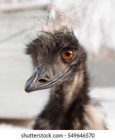 Cute ostrich emu