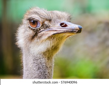 Cute ostrich head closeup with attentive eye and gray feathers green background with selective focus