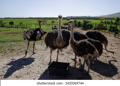 The cute ostriches. Cape Town, South Africa