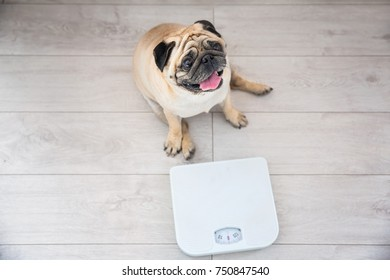 Cute overweight pug on floor with weight scale at home