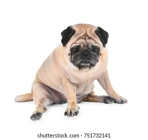 Cute overweight pug on white background