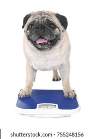 Cute overweight pug with weight scale on white background