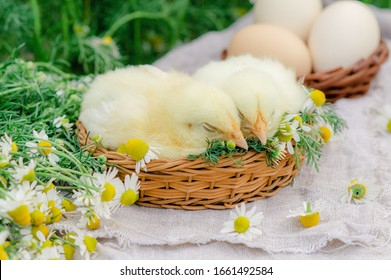 A cute pair of little chickens are sitting in a basket nest with a bouquet of daisies and eggs in the background out of focus. Easter card with chickens