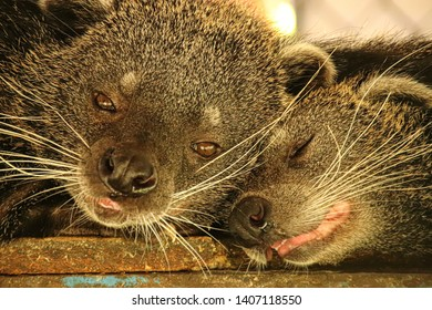 A cute pair of sleepy bearcats or Arctictis binturong spotted at the national park in Ben tre Mekong Delta, Vietnam