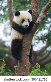 Cute panda bear climbing in tree