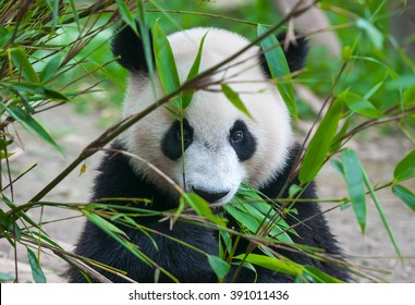 Cute panda bear eating bamboo