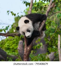 Cute panda bear in forest in China