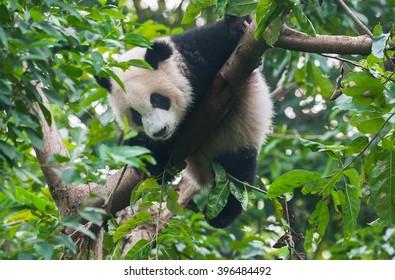 Cute panda bear in tree