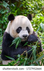 Cute panda eating bamboo leaves