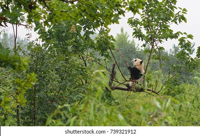 A cute panda sits on a branch at the Shaanxi Wild Animal Rescue Center near Xian, China. Pandas are endangered animals, but their numbers have rebounded, thanks to massive efforts by the Chinese.