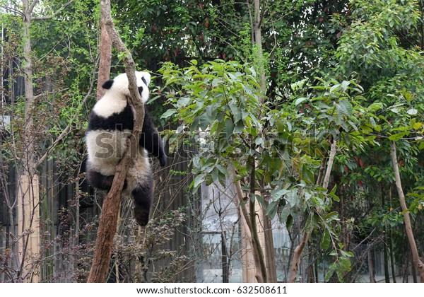 A cute panda is sleeping on a tree