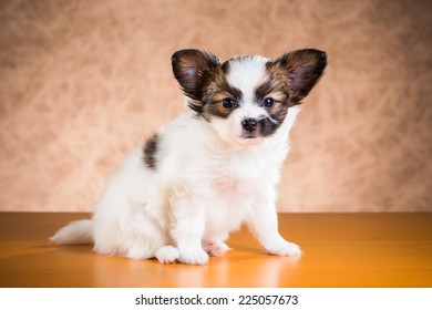 Cute Papillon puppy age of one and a half months on a brown background