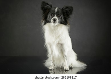 cute papillon sitting in dark photo studio
