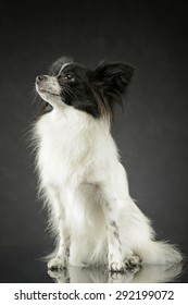 cute papillon sitting and looking up in dark photo studio