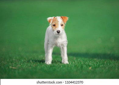 cute parson russel terrier puppy standing on the green grass