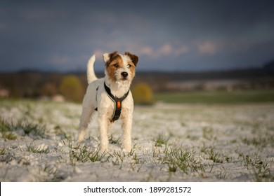 A Cute Parson Russell Terrier playing in Snow