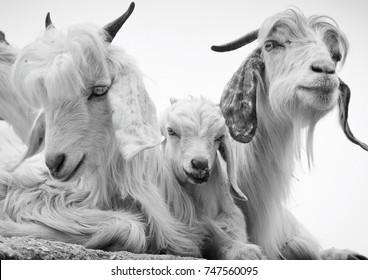 Cute Pashmina goats in Bhagsunag, Dharamshala, Himachal Pradesh, India