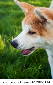 Cute pedigreed dog of japanese breed Akita Inu (Red Shiba Ina) walking on green grass. Vertical portrait, side view, outdoor