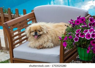 Cute pekingese dog in garden