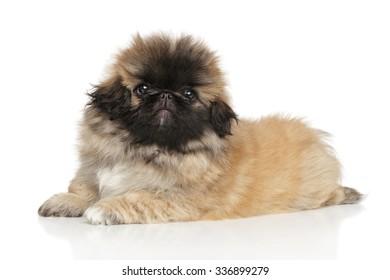 Cute Pekingese puppy lying down on white background
