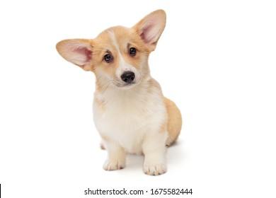 Cute Pembroke Corgi Puppy isolated on white background